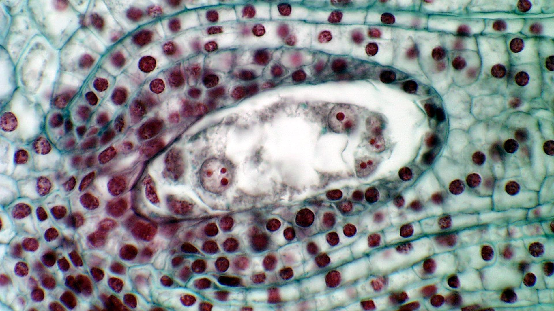 Image: Embryo Sac