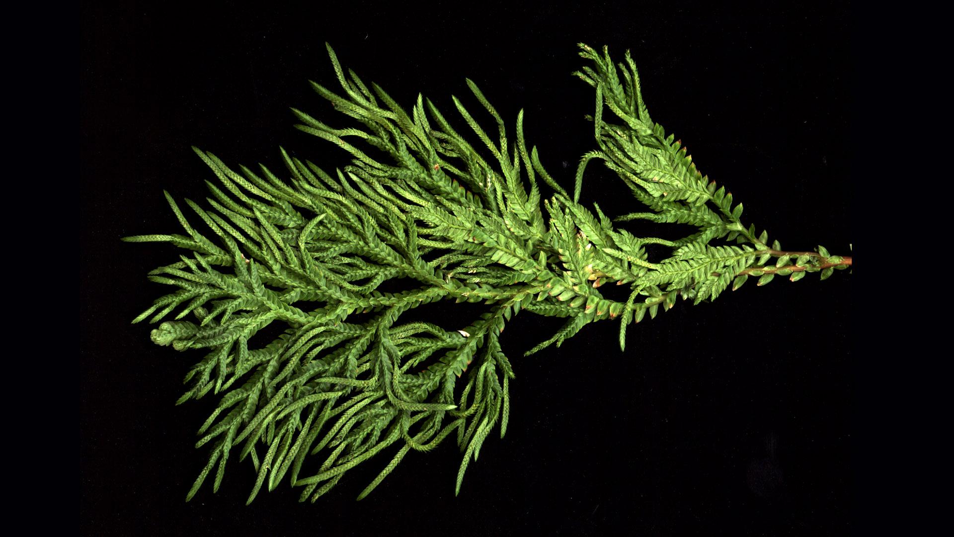 Selaginella Strobilus