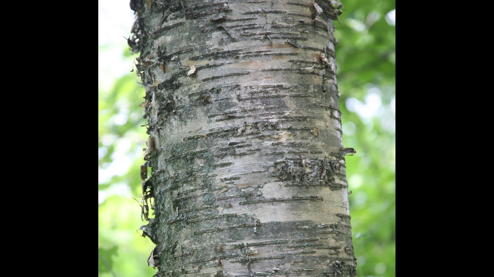 Yellow Trees Images Image Bark Yellow Birch