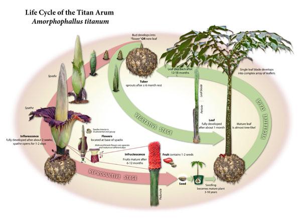 Titan Arum Archive