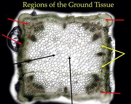 Index of /botany_130/anatomy/Cells_tissues/Images/Coleus