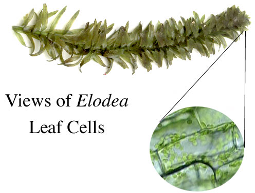 Elodea Cell Lab in Lab These Cells Were