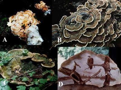 Naming The Polypores Why Polyporus Has Been Split Up Into