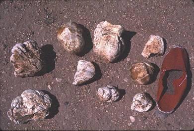 Image of desert truffles from http://botit.botany.wisc.edu